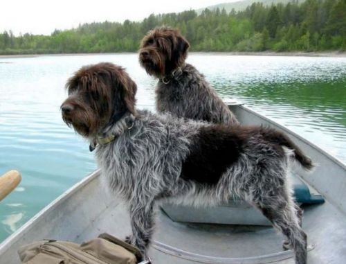 wirehaired pointing griffon dogs