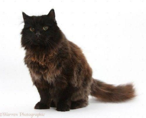 york chocolate cat cat