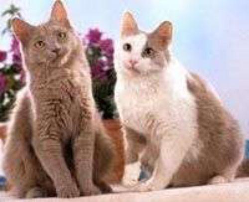 york chocolate cat cats