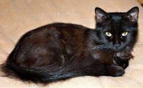 york chocolate cat kitten