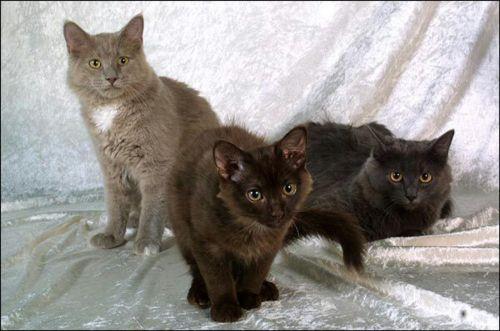 york chocolate cat kittens