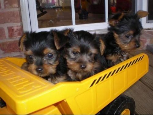 Yorkie Puppies For Sale In Washington