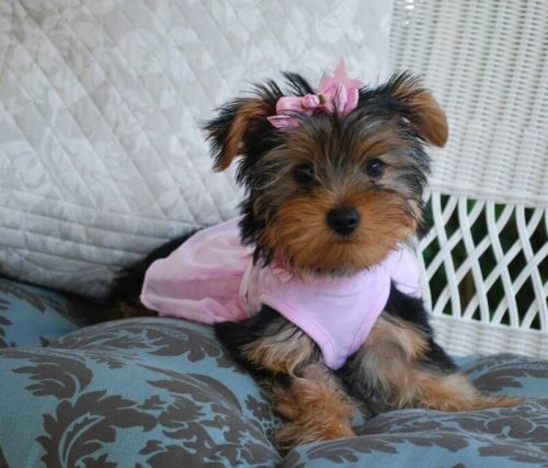 yorkie oklahoma yorkshire terrier for sale in oklahoma petzlover 5513