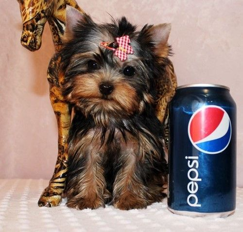 yorkie puppies for sale sacramento ca yorkshire terrier puppies for sale sacramento ca 6445