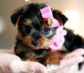 Yorkshire Terrier Puppies for sale in Los Angeles, CA 90007, USA. price -USD