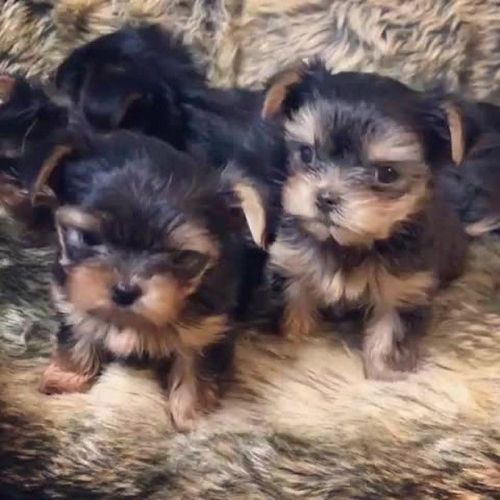Yorkshire Terrier Puppies for sale in Los Angeles, CA, USA. price 400USD