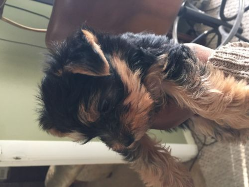 yorkie puppies for sale in michigan yorkshire terrier puppies for sale ann arbor mi 195981 1301