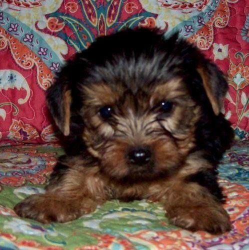 puppies for sale in columbia sc yorkshire terrier puppies for sale columbia sc 197758 3465