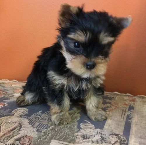 yorkie puppies for sale in philadelphia yorkshire terrier puppies for sale halifax pa 201523 3289