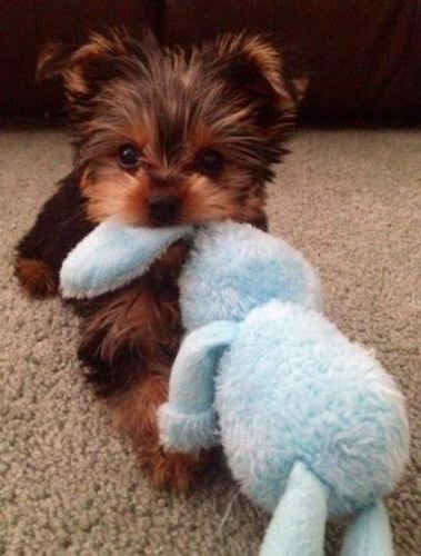 Yorkshire Terrier Puppies For Sale South Bend In 131478 Petzlover