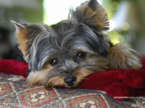 yorkshire terrier sale