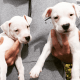 Adorable Home Raised American bulldog pups