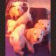Dogo Argentino aka Argentine Mastiff