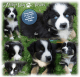 ASDR Australian Shepherd puppies (with tails!) Ready on September 14!