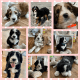 REDUCED!! 8 week old Bernedoodle Puppies