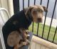 Catahoula Bulldog Puppies
