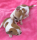 Akc registered Chihuahua Puppies for Adoption