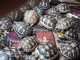 ***radiated tortoise for rehoming***