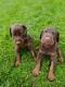 Dobermans pups