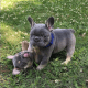 Two adorable Frenchies ready for adoption to a pet loving home