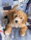 Goldendoodle Puppy to a good home