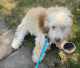 Mini Goldendoodle-4 months old for sale!