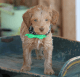 Adorable male Goldendoodle.