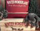 Purebred & Papered Holland Lop Boy- Ready for Christmas!!