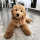 Buy Adorable Labradoodle, Goldendoodle Puppies for Sale