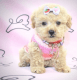 Beautiful Maltipoo's T Cup Puppies
