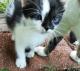 Quarter and half manx kittens!