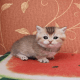 Adorable munchkin cats and kittens for sale