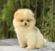 Pomeranian puppies for sale Text Us At. xxx-xxx-xxxx