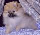 Cream Sable Pomeranian Pup