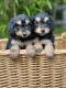 Poddle puppies
