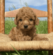 Red Poodle available