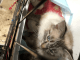 Radgoll kittens