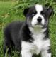 Sakhalin Husky Puppies