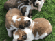 Fantastic Litter Of Saint Bernard Puppy's K.c Reg