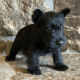 Cute male and female Scottish Terrier Puppies