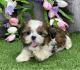 Male and female Shih Tzu Puppies