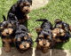 capable Yorkie Yorkshire Terrier Puppies