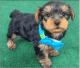 Tiny Adorable Baby Yorkie Puppy text xxxxxxxxxx