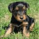 Purebred Tiny Yorkie Puppies